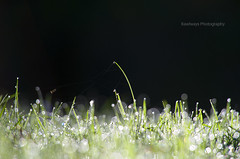 Glittering grass (Rawlways) Tags: green grass hierba resplandor