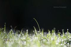 Glittering grass (Rawlways) Tags: green grass hierba resplandor