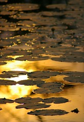Golden Water Lily's (golden haze) Tags: nature water golden lakes sunsets ponds waterlilys