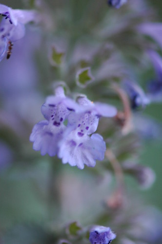 "Nepeta calamintha """"Walker's Low"""""
