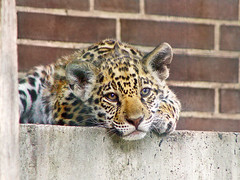Jaguar cub (Tambako the Jaguar) Tags: wild baby berlin cute cat zoo cub big feline looking small bricks young adorable kitty fluffy bigcat jag jaguar wildcat staring melancholic onca jaggy felid panthera naturesfinest pantheraonca specanimal mywinners anawesomeshot theunforgettablepictures photofaceoffwinner pfogold