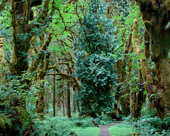 Path Through Rainforest (Fractal Artist) Tags: green washington rainforest silent state peaceful magical primordial