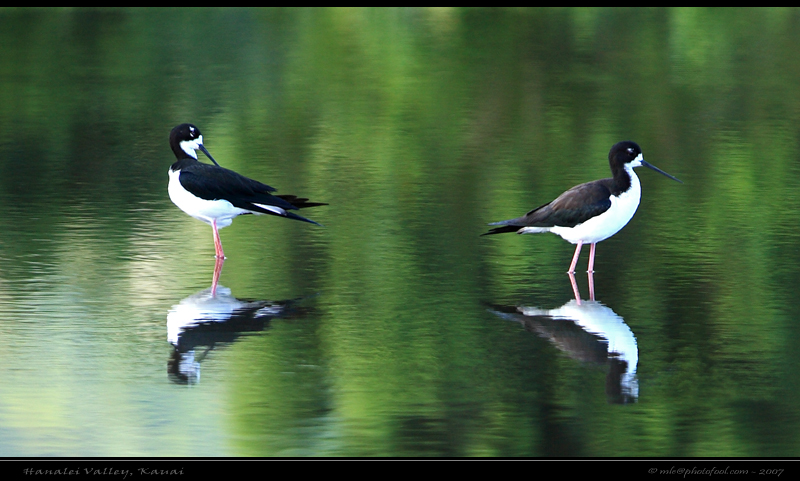 Bird reflection black-necked stilt