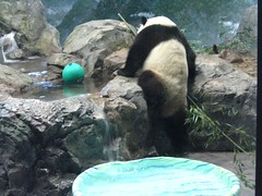 Big boy climb with ball and pool - 003 (RoxandaBear) Tags: pool waterfall nationalzoo giantpanda greenball taishan