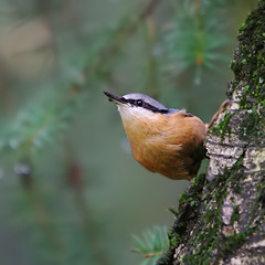 nuthatch (Sabinche) Tags: bird nature square interestingness bravo nuthatch soe sabinche kleiber interestingness94 specnature superbmasterpiece goldenphotographer avianexcellence