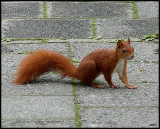 Eichhörnchen .... Squirrel
