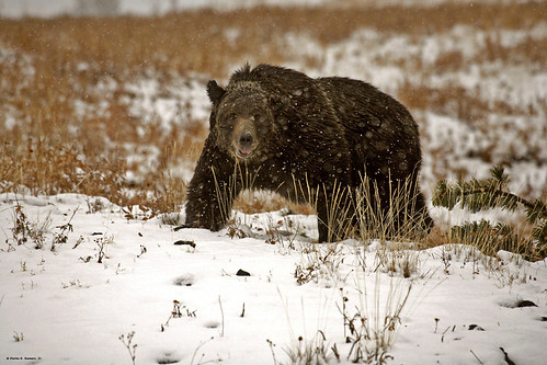 Grizzly Boar in snowstorm_MG_2012