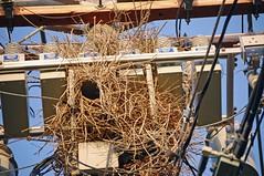 Quaker Parrot nest. (DGII) Tags: blue sky green bird evening sticks nest transformer entrance parrot monk pole wires parakeet opening powerline woven twigs weave quaker insulator