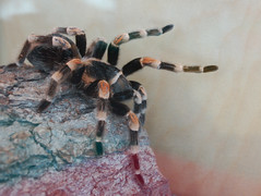 Red (Or Orange) Kneed Tarantula