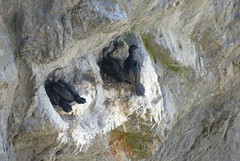 Oregon065.jpg (evanmitsui) Tags: oregon cormorants nesting archcape oswaldstatepark