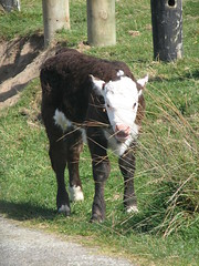 Whitireia Park Cattle (TELPortfolio) Tags: newzealand cattle wellington porirua 10millionphotos jalalspagesanimalkingdom whitireiapark titahbay
