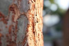 Ants in Tree