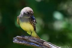 GCF (~ Michaela Sagatova ~) Tags: bird nature insect dundas nesting flycatcher greatcrestedflycatcher myiarchuscrinitus feedingyoung dvca michaelasagatova