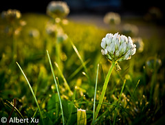 Solitary (just.bored) Tags: white 3 flower up grass photography nikon close bokeh albert adobe solitary xu lightroom d5000