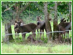 Malayan Sambar Deer (Cervus unicolor equinus)