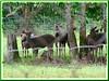 Cervus unicolor equinus (Malayan Sambar Deer, Rusa Sambar in Malay)