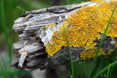 Colony of lichens on bole of tree (Lazaros2010) Tags: tree nature decomposition lichens soe bole trunke flickraward nikonflickraward
