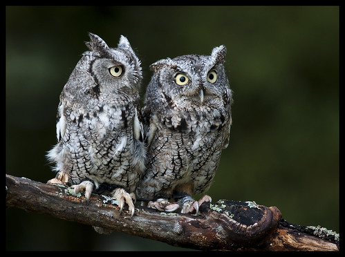 Eastern screech owls 1 by Jen St. Louis