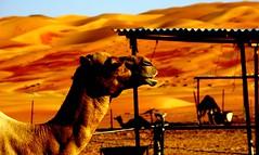 Camel camp, Liwa Desert (fragglehunter aka Sleepy G) Tags: sand desert decay dunes uae abudhabi abu dhabi soe picnik urbanexploring ue bedouin adudhabi liwa urbex emptyquarter camelfarmer sleepyg ukurbex mygearandme mygearandmepremium ringexcellence moreebdunes fragglehunterakasleepygportfolio fragglehunter yahooyourpictures sleepygphotography fragglehunterurbex fragglehunteraerialphotography fragelhunter