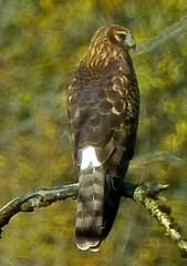 Northern Harrier (orencobirder) Tags: flickrexport hawks digiscope largebirds