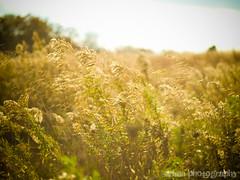 Battlefields to wheatfields (Urban.Photography) Tags: sun green field grass gold wheat civilwar battleground gettysburgpennsylvania flickrchallengegroup flickrchallengewinner