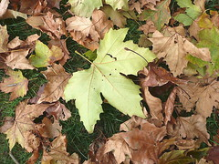 Planetree leaves