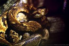 Bothropoides jararaca (Bothrops) (Techuser) Tags: animal topv111 rainforest reptile snake viper zizo bothrops lancehead canon55250 bothropoidesjararaca
