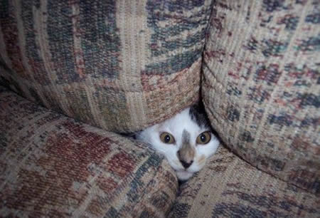 Cat in Couch Cushions
