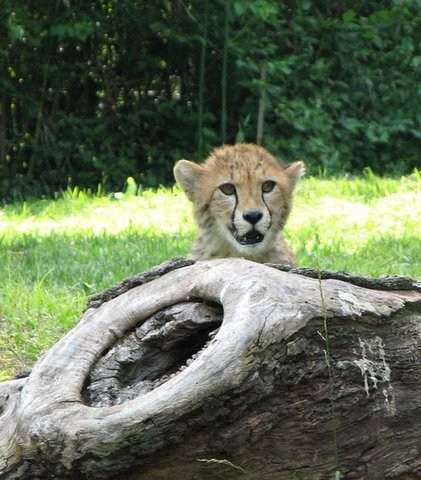 Cheetah Curiosity