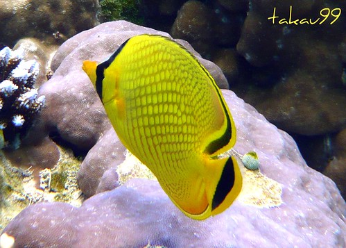 Latticed Butterflyfish on Similan Islands, Thailand
