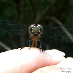Found a New Friend! (naturesbest) Tags: nature water wings dragonfly onlythebestare 114interestingnessexplore070407