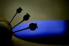 Three (jimheid) Tags: three poppy poppies flickrversary sunroom 105mm