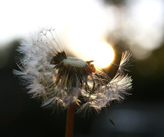 Spontaneous Combustion (aussiegall) Tags: sunset weed puff dandelion seeds puffball aphotoaday project365