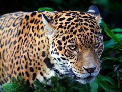 Jaguar (sparky2000) Tags: cats nature animal animals cat mammal zoo scotland feline edinburgh natural scottish bigcat jaguar mammals animalplanet naturalworld bigcats animalkingdom mammalia edinburghzoo  10faves specanimal aplusphoto jalalspagesanimalkingdomalbum sparky2000 platinumheartaward stuartreynolds flickrbigcats  stuartrobertsonreynolds robersonreynoldsphotography