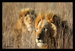 STUNNING MALE LIONS IN BOTSWANA SOUTH AFRICA (electra-cute) Tags: