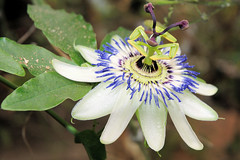 Passion Flower (Michel Mintaka) Tags: flowers white plant macro green nature garden purple tan stamens passion tropical bloom soe