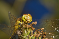 """Common Darter Dragonfly (Sympetrum s(57) • <a style=""""font-size:0.8em;"""" href=""""http://www.flickr.com/photos/57024565@N00/1343368988/"""" target=""""_blank"""">View on Flickr</a>"""