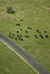 Aerial: Cattle Grazing Near a Rural Road (Craig Jewell Photography) Tags: road animal animals rural cattle cows pentax iso400 farm farming stock aerial agriculture f56 livestock grazing agricultural graze wallerawang 1320sec pentaxk10d pentaxsnapshot2007 cpjsm craigjewellphotography