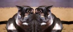 [twins] Inky, Beside Herself (Elwyn / Elwynsattic) Tags: pet cats cat photoshop md kitten feline chat kitty maryland baltimore september gato inky 2007 selene kissablekat justcats