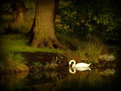 Fairy Tale (Chris Beesley) Tags: lake pool landscape interesting swan bravo fuji explore fairy finepix tale dunham dunhammassey s5600 featheryfriday interestingness25 explored i500 superaplus aplusphoto 200750plusfaves firsttheearth theunforgettablepictures coolestphotographers thegardenofzen