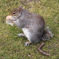 A sorry tail...... (Heaven`s Gate (John)) Tags: england nature grass animal fur grey rodent birmingham squirrel tail canonhillpark johndalkin heavensgatejohn asorrytail