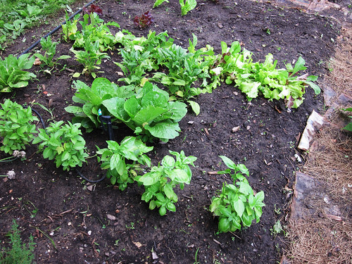 2010 Garden: Week 5
