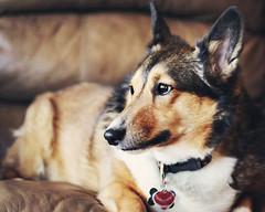 The Queen Bee (hi im amy) Tags: dog corgi sheep sheltie sheepdog shetland roxie