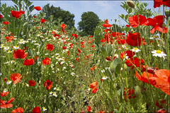 In among the poppies and daisies (adrians_art) Tags: flowers trees plants kent path daisy poppyfield poppyseeds eastbarming
