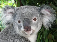 Koala Portrait - Phascolarctos Cinereus (Sir Francis Canker Photography ) Tags: bear trip travel portrait cute tourism beautiful face look animal animals wonderful nose nice soft shot wildlife bonito sydney australian handsome fluffy australia melbourne visit icon victoria brisbane tourist best special sguardo koala pouch nsw qld wilderness aussie visiting lonepine animaux marsupial mirada dieren animali animale sanctuary beau suave downunder babyface  lucena bello sauvage koalabear animalito ay arenzano salvaje regarde  marsupio marsupiale marsupiali koalita sirfranciscankerjones     keseli   pacocabezalopez