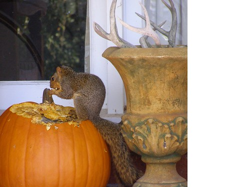 punkin squirrel maureen owens lafayette