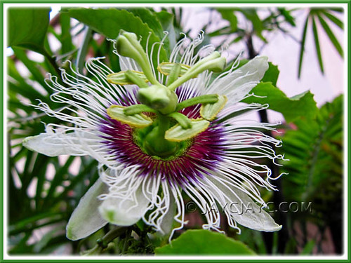 Passiflora edulis (Purple passionfruit/granadilla), first-time bloomer in our tropical garden in KL, Malaysia