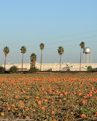Prison Pumpkin Patch (4 Corners Photo) Tags: california ca autumn building fall pumpkin unitedstates farm watertower harvest prison palmtrees jail northamerica agriculture centralvalley dvi tracyca sanjoaquincounty canoneos50d deuelvocationalinstitute