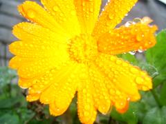 Florsh (Li-sse) Tags: flor con gotitas florecita fiveflickrfavs