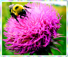 Aerodynamically the bumble bee shouldn't be able to fly, but the bumble bee doesn't know it, so it goes on flying anyway.  ~Mary Kay Ash (Betty Sue) Tags: naturesfinest bullthistle supershot instantfave avision impressedbeauty